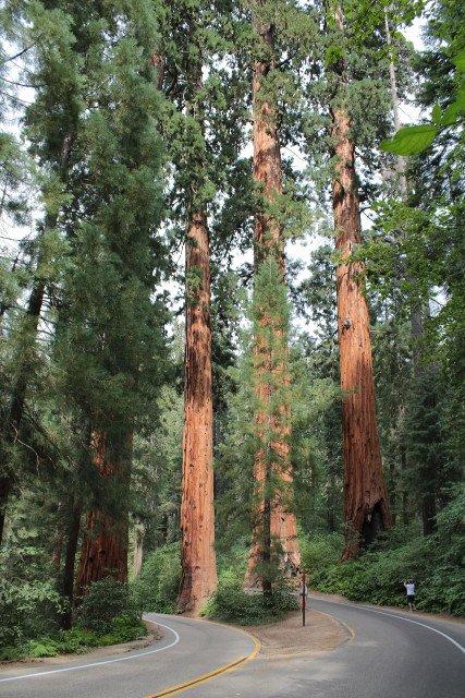 Sequoias géants
